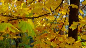 Tree Branches With Lush Yellow Leaves in Autumn stock video footage