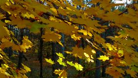 Tree Branches With Multicolored Leaves In Autumnal Forest. CRANE SHOT: Tree branches with yellow and green maple leaves with sun lit in autumnal forest stock video footage