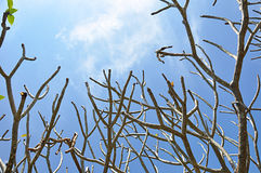 Tree branches with no leaves Royalty Free Stock Images