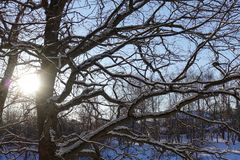 Tree branches oak without leaves against the blue sky. Snow on the branches. Frosty sunny day.  stock photos