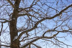 Tree branches oak without leaves against the blue sky. Snow on the branches. Frosty sunny day.  stock images