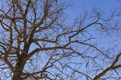 Tree branches oak without leaves against the blue sky. Snow on the branches. Frosty sunny day.  royalty free stock image