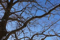 Tree branches oak without leaves against the blue sky. Snow on the branches. Frosty sunny day.  royalty free stock images