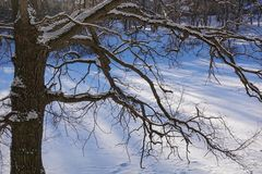 Tree branches oak without leaves against the blue sky. Snow on the branches. Frosty sunny day.  royalty free stock photo