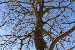 Tree branches oak without leaves against the blue sky. Snow on the branches. Frosty sunny day.  stock photo