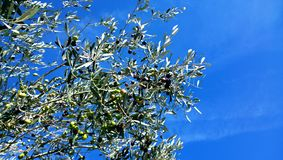 Tree branches of olive and little olives on it on a background clear blue sky stock images