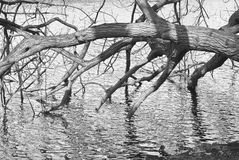 Tree Branches  over Water Stock Photography