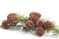 Tree branches with pinecones in autumn Stock Image