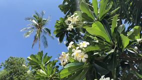 Tree branches with plumeria flowers sway in the wind. Tree branches with beautiful plumeria flowers sway in the wind stock video footage