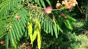 Tree branches and pods with fruits Albizia julibrissin. Tree branches with green leaves Albizia julibrissin, summer day stock video footage