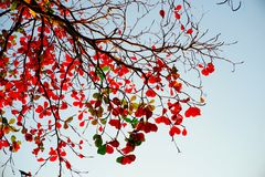 Tree branches red leafs Royalty Free Stock Image