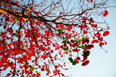 Tree branches red leafs stock image