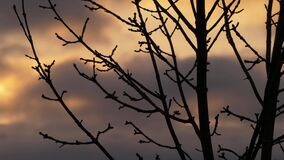 Tree branches silhouette against sunset skies and clouds