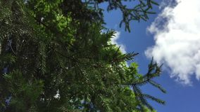 Tree branches on sky background. Spruce branches large scale on the background of Sunny sky stock video