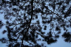 Tree branches and sky. Dark branches of a coniferous tree on a background of blue sky Stock Image