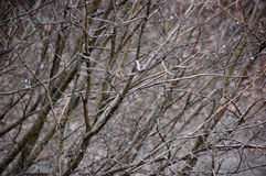 Tree branches and sleet Royalty Free Stock Photo