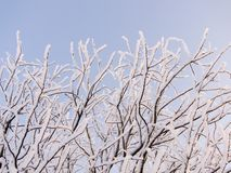 Tree branches in snow Royalty Free Stock Image