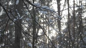Tree branches with snow on them moving in the wind. Tree branches with snow on them moving in the wind, swow blowing, slow motion stock video footage