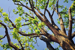 Tree branches in spring Royalty Free Stock Image