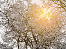 Tree branches and stems in snow and sunlight Royalty Free Stock Photography