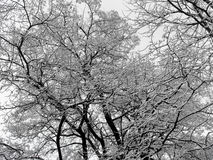 Tree branches and stems in snow. Winter black and white texture Royalty Free Stock Image
