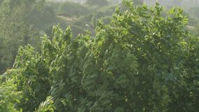 Tree Branches In Strong Wind. The branches of the green tree are blown up by strong winds stock footage