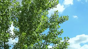 Tree branches sway on the blue sky and clouds at sunset. Spring has come, it`s warm. Cloudy weather. The trees have buds.  stock video