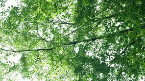 Tree branches sway in the wind, leaves shine through in the sun. Tree branches sway in the wind, shine through the sun stock video