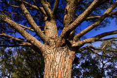 Tree with branches Royalty Free Stock Photos