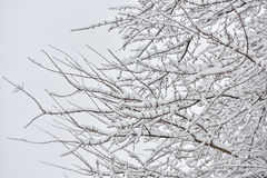 Tree branches under snow in April Royalty Free Stock Photo