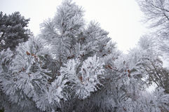 Tree branches under the snow Stock Image
