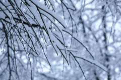 Tree branches under snow in winter. Day in the forest royalty free stock photo