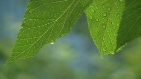 Tree Branches With Water Drops I. Tree In The Wilderness With Raindrops On It stock footage