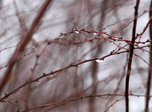 Tree branches water drops Royalty Free Stock Images