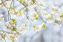 Tree in spring blossom Royalty Free Stock Photo
