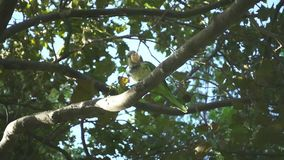 Tree branches with wild parrots. Slow motion parrots eating among trees. Two wild parrots sitting on tree branches. Slow motion of parrots eating something among stock video footage