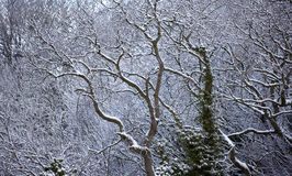 Tree branches in Winter. Snow and ice covered tree branches Stock Photo
