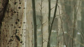 Tree branches in winter. Close-up aspen tree trunk and branches in winter stock footage