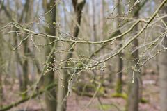 Tree Branches Winter Leafes Closeup Forest Nature Royalty Free Stock Photo