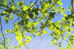 Free Tree Branches With Bright Green Leaves Against A Blue Sky Royalty Free Stock Photos - 148081988