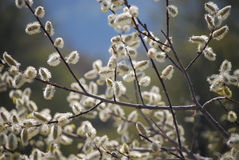 Tree Branches With Buds Stock Photography