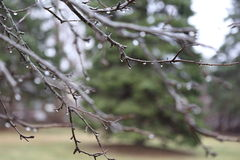 Tree Branches With Raindrops On A Rainy Day. Stock Photos