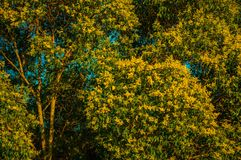 Tree branches with yellow flowers on a farm. Close-up of tree branches full of green leaves and yellow flowers at sunset on a farmstead near Elvas. A gracious royalty free stock photos