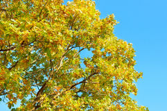 Tree branches with yellow leaves Stock Images