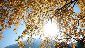 Tree branches with yellow leaves. This stock footage features a low-angle shot of tree branches with yellow autumn leaves. The branches are swaying in the wind stock video