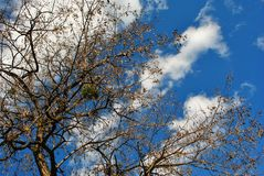 Tree branches with yellow rotten leaves and green mistletoe on the cloudy sunny sky background royalty free stock photography