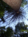 Tree branching out. Tall magestic tree from a different view royalty free stock photography
