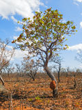 Tree of brazilian savanna (Cerrado). Royalty Free Stock Images