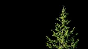 Tree In Breeze On Black Background. Tree on solid black background in bright light stock video footage