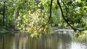 Tree with bright foliage is reflected in the lake.  stock footage